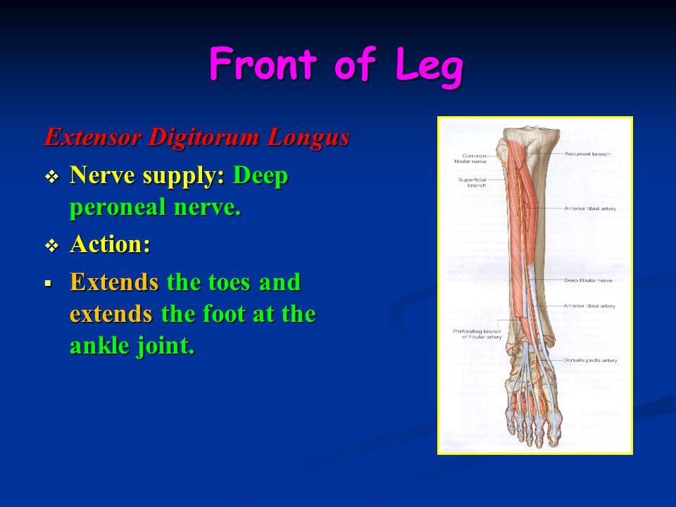 Front of Leg Extensor Digitorum Longus  Nerve supply: Deep peroneal nerve.