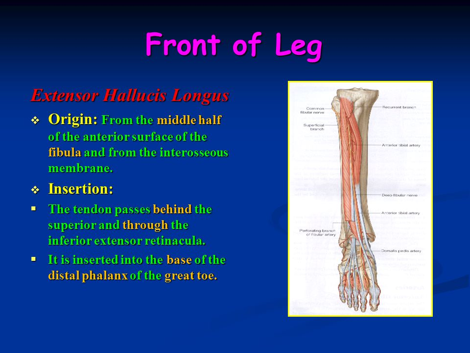 Front of Leg Extensor Hallucis Longus  Origin: From the middle half of the anterior surface of the fibula and from the interosseous membrane.