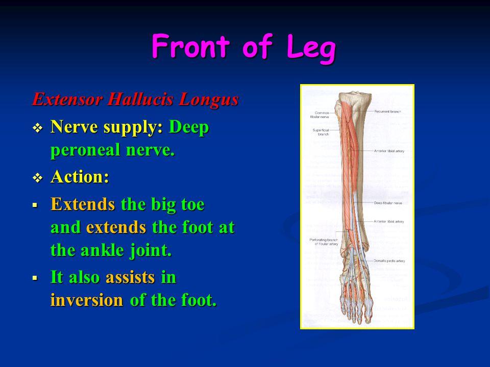 Front of Leg Extensor Hallucis Longus  Nerve supply: Deep peroneal nerve.