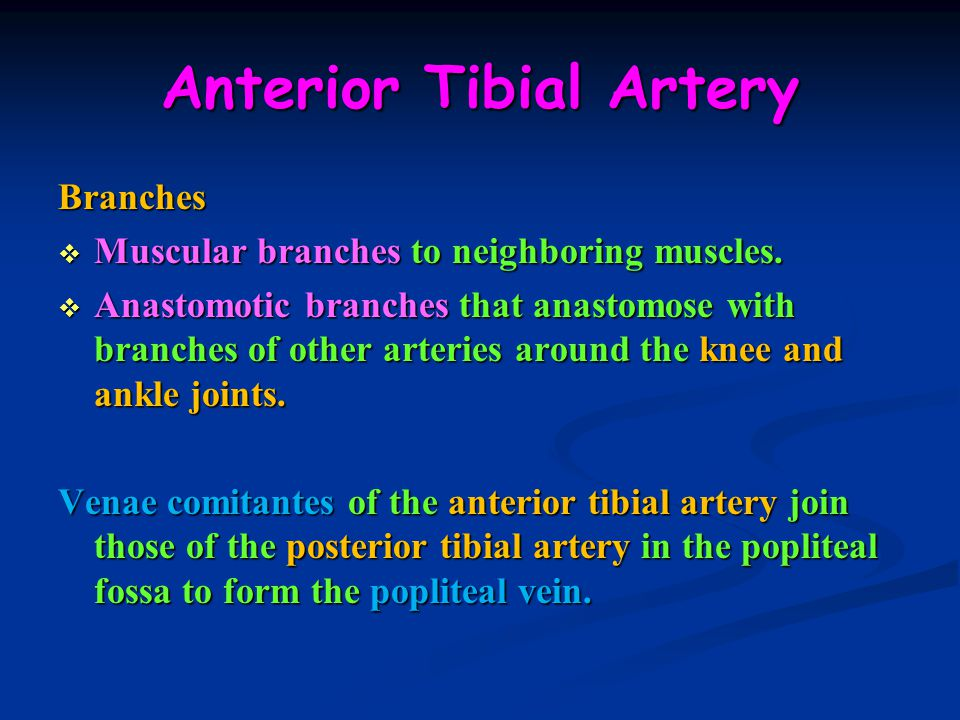 Anterior Tibial Artery Branches  Muscular branches to neighboring muscles.