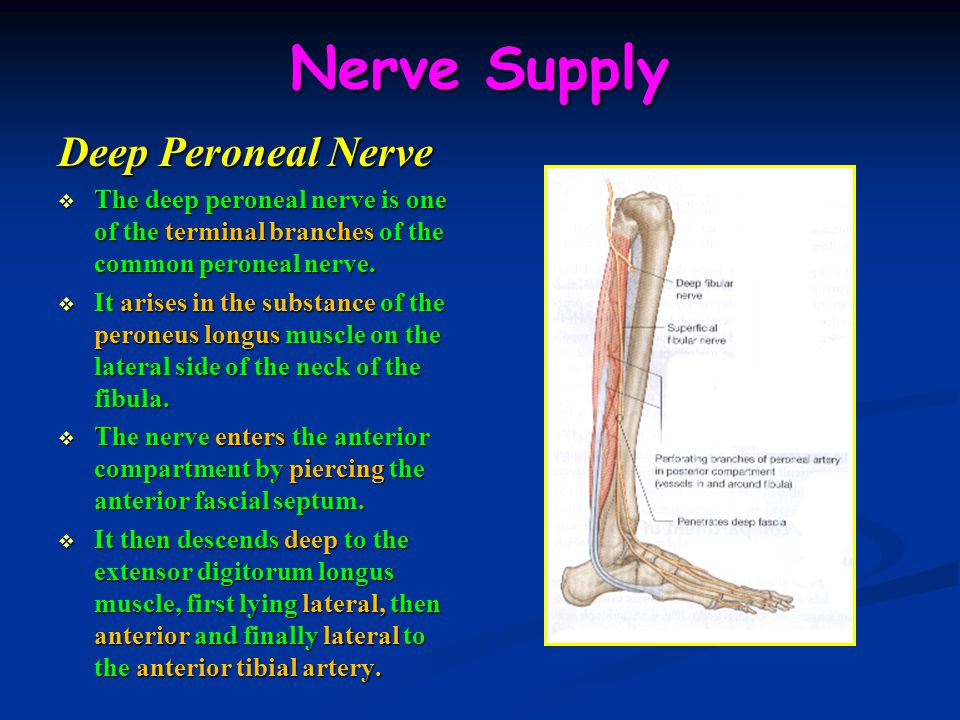 Nerve Supply Deep Peroneal Nerve  The deep peroneal nerve is one of the terminal branches of the common peroneal nerve.