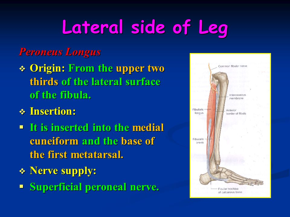 Lateral side of Leg Peroneus Longus  Origin: From the upper two thirds of the lateral surface of the fibula.