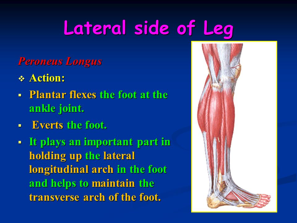 Lateral side of Leg Peroneus Longus  Action:  Plantar flexes the foot at the ankle joint.