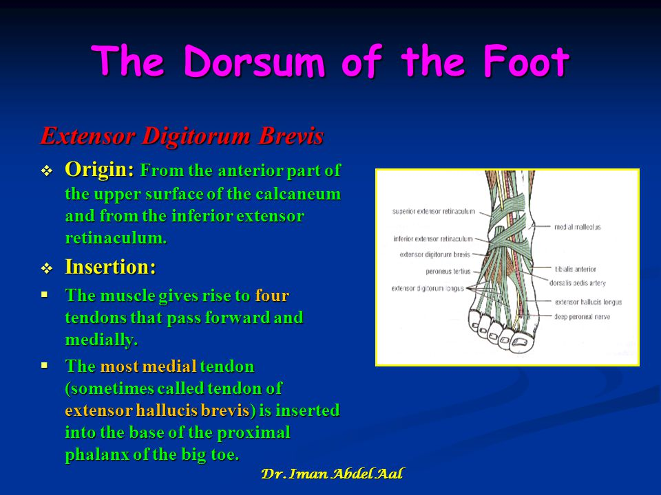 The Dorsum of the Foot Extensor Digitorum Brevis  Origin: From the anterior part of the upper surface of the calcaneum and from the inferior extensor retinaculum.