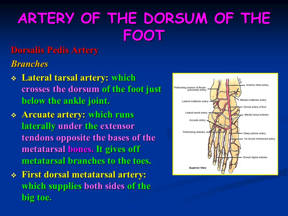 ARTERY OF THE DORSUM OF THE FOOT Dorsalis Pedis Artery Branches  Lateral tarsal artery: which crosses the dorsum of the foot just below the ankle joint.