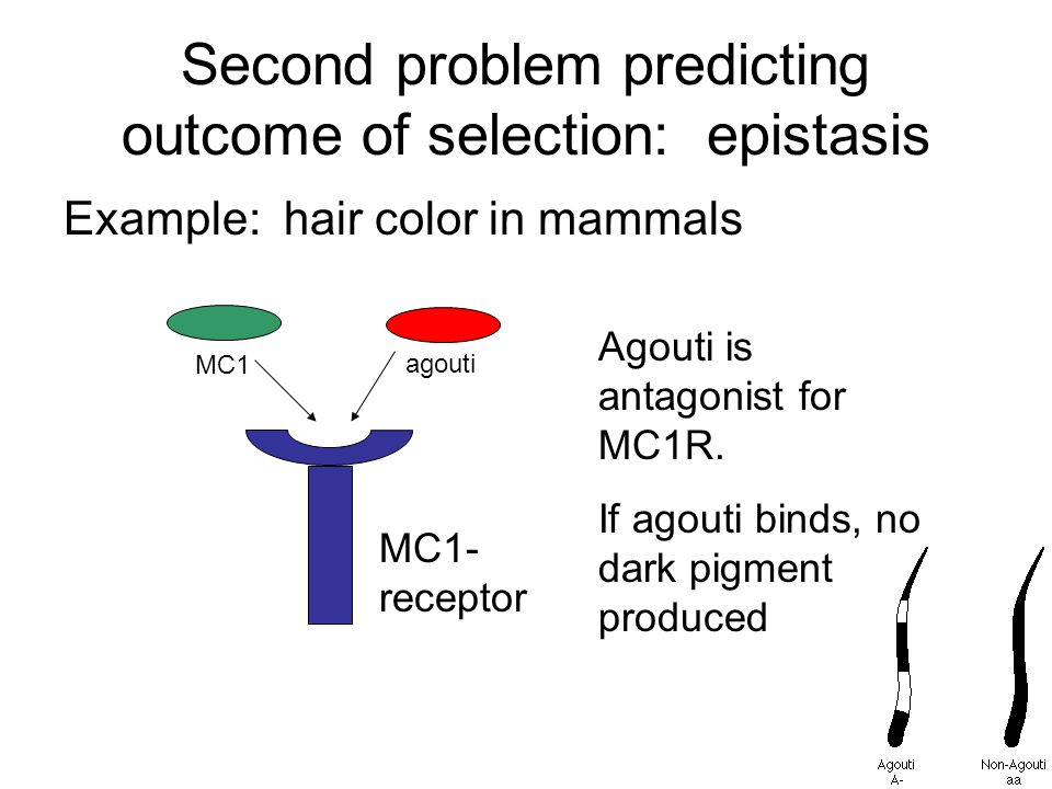 Second problem predicting outcome of selection: epistasis Example: hair color in mammals MC1- receptor MC1 agouti Agouti is antagonist for MC1R.