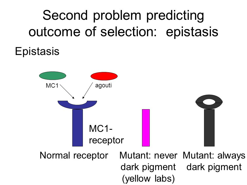 Second problem predicting outcome of selection: epistasis Epistasis MC1 agouti MC1- receptor Normal receptorMutant: never dark pigment (yellow labs) M