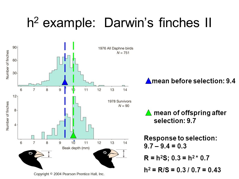 h 2 example: Darwin's finches II mean before selection: 9.4 mean of offspring after selection: 9.7 Response to selection: 9.7 – 9.4 = 0.3 R = h 2 S; 0