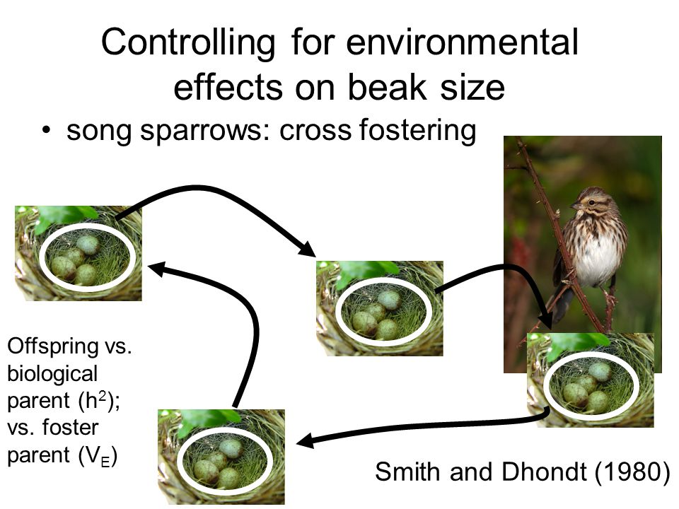 Controlling for environmental effects on beak size song sparrows: cross fostering Smith and Dhondt (1980) Offspring vs. biological parent (h 2 ); vs.