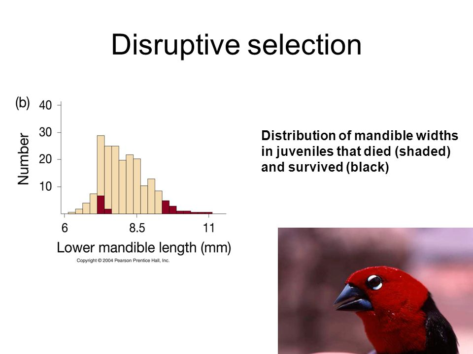 Disruptive selection Distribution of mandible widths in juveniles that died (shaded) and survived (black)