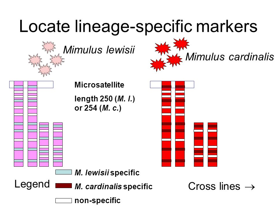 Locate lineage-specific markers Legend M. lewisii specific M.