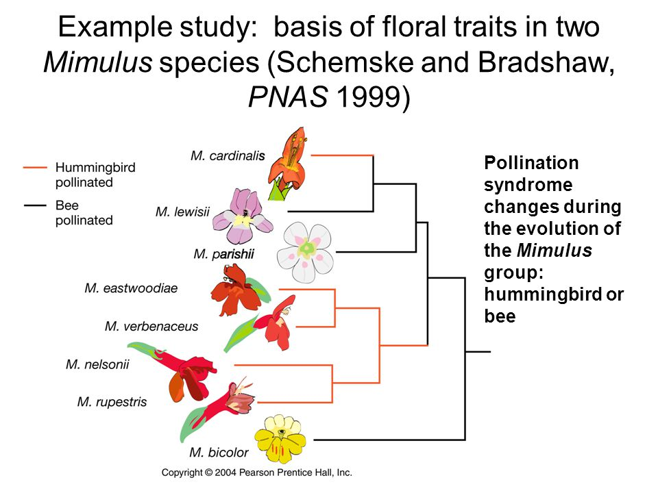 Example study: basis of floral traits in two Mimulus species (Schemske and Bradshaw, PNAS 1999) Pollination syndrome changes during the evolution of t