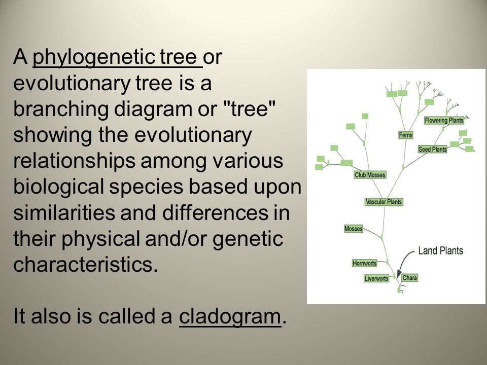 A phylogenetic tree or evolutionary tree is a branching diagram or