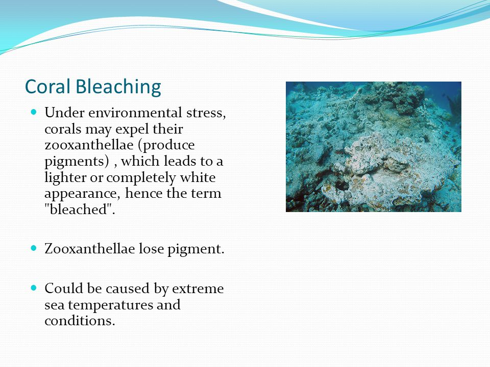 Coral Bleaching Under environmental stress, corals may expel their zooxanthellae (produce pigments), which leads to a lighter or completely white appearance, hence the term bleached .