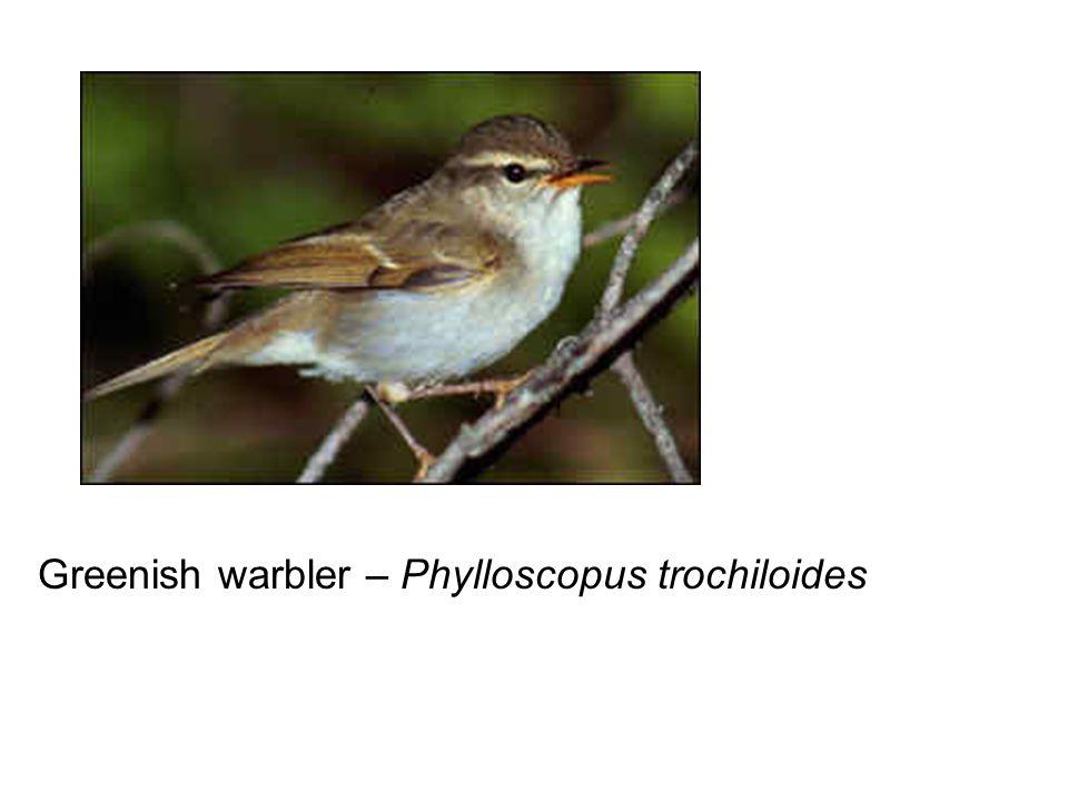 Greenish warbler – Phylloscopus trochiloides