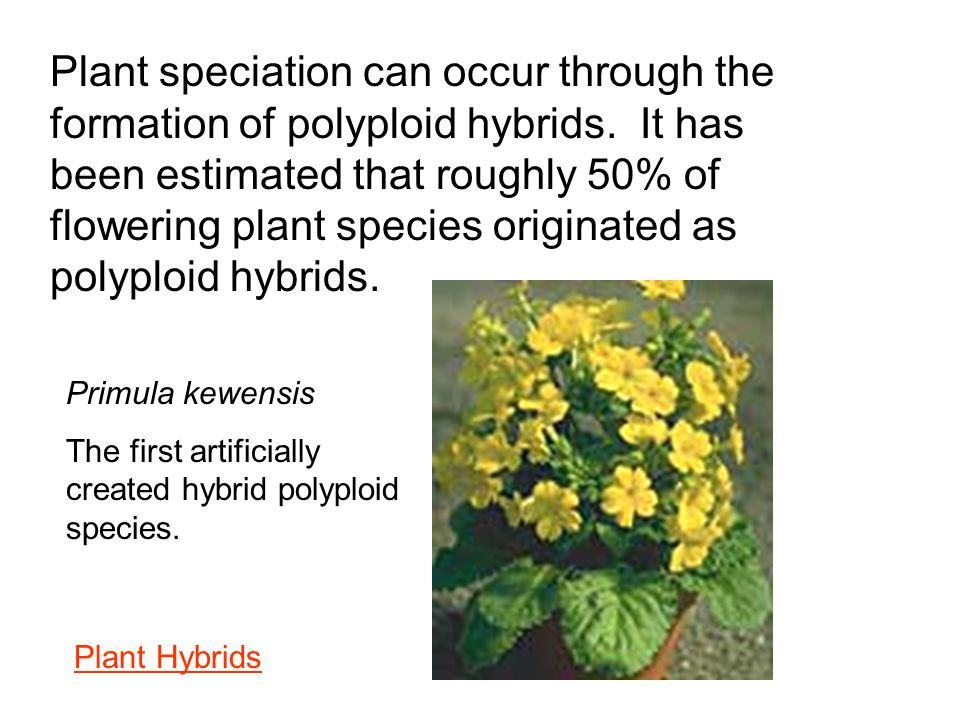 Plant speciation can occur through the formation of polyploid hybrids. It has been estimated that roughly 50% of flowering plant species originated as