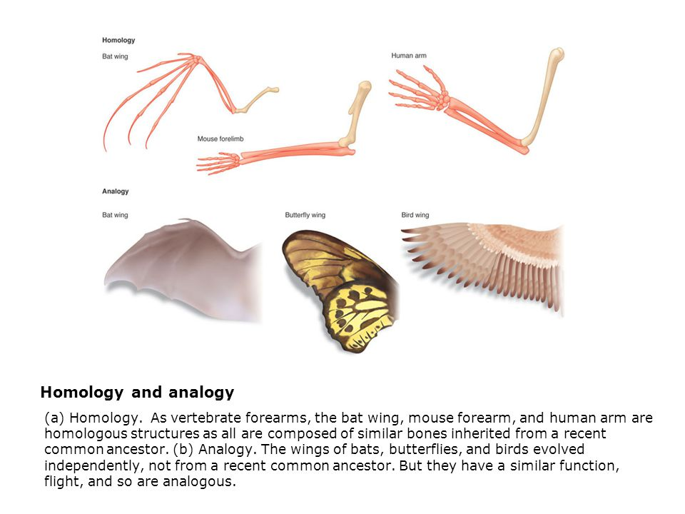 Homology and analogy  (a) Homology. As vertebrate forearms, the bat wing, mouse forearm, and human arm are homologous structures as all are composed