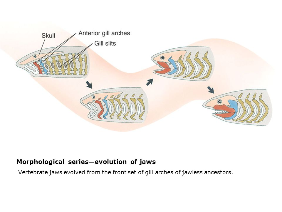 Morphological series—evolution of jaws  Vertebrate jaws evolved from the front set of gill arches of jawless ancestors.