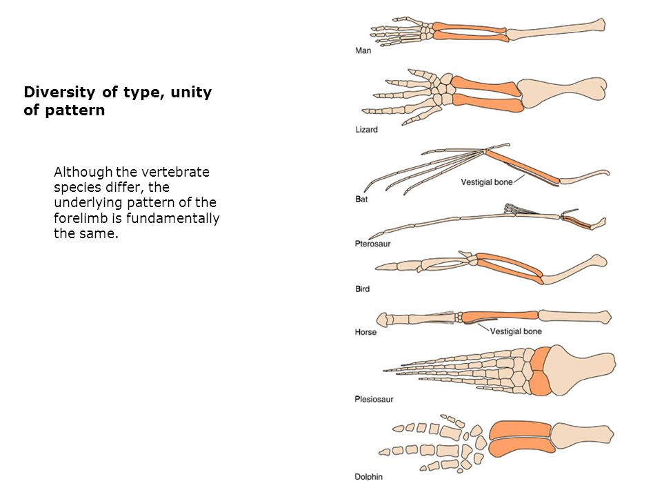 Diversity of type, unity of pattern  Although the vertebrate species differ, the underlying pattern of the forelimb is fundamentally the same.