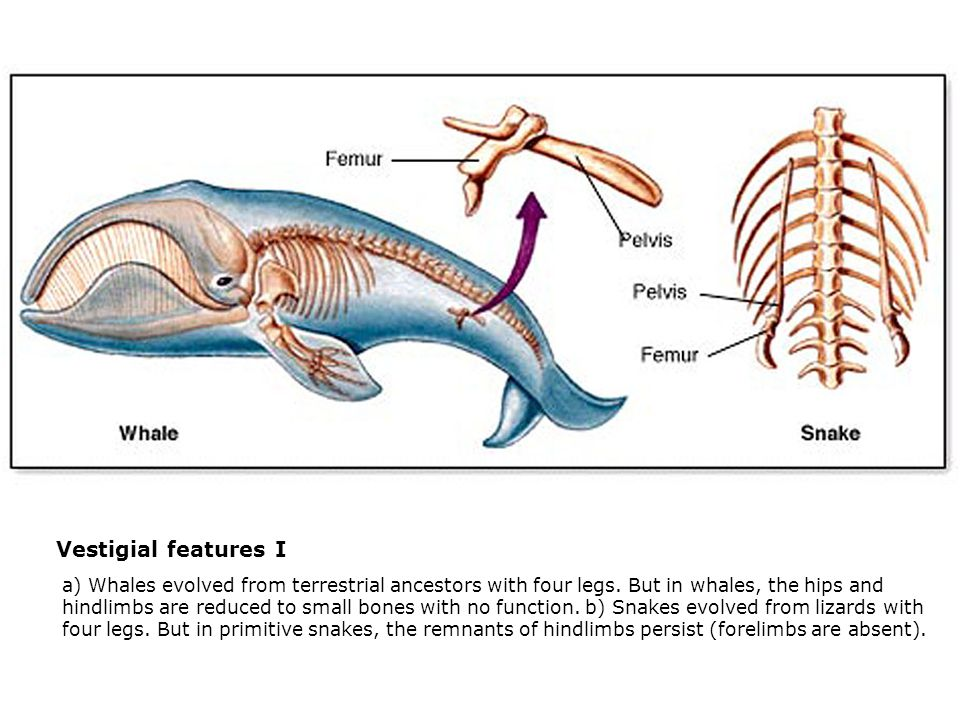 Vestigial features I  a) Whales evolved from terrestrial ancestors with four legs. But in whales, the hips and hindlimbs are reduced to small bones w