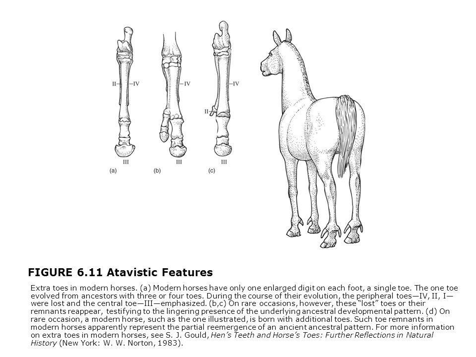 FIGURE 6.11 Atavistic Features  Extra toes in modern horses. (a) Modern horses have only one enlarged digit on each foot, a single toe. The one toe e