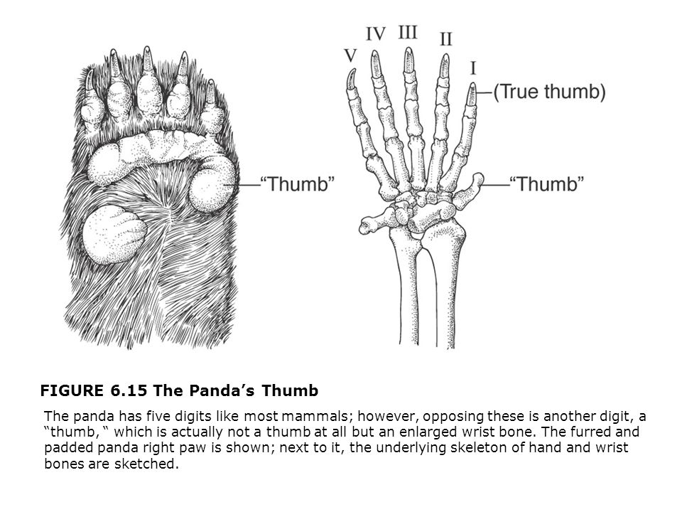 "FIGURE 6.15 The Panda's Thumb  The panda has five digits like most mammals; however, opposing these is another digit, a ""thumb, "" which is actually n"