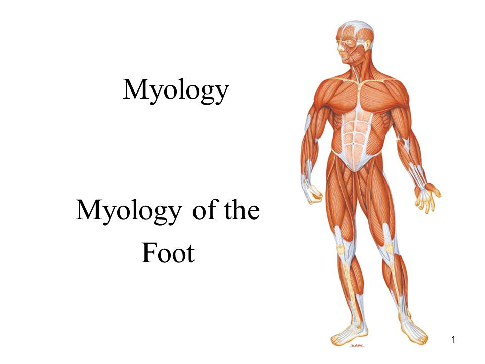 1 Myology Myology of the Foot
