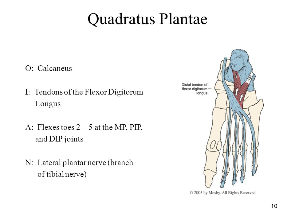 10 Quadratus Plantae O: Calcaneus I: Tendons of the Flexor Digitorum Longus A: Flexes toes 2 – 5 at the MP, PIP, and DIP joints N: Lateral plantar nerve (branch of tibial nerve)