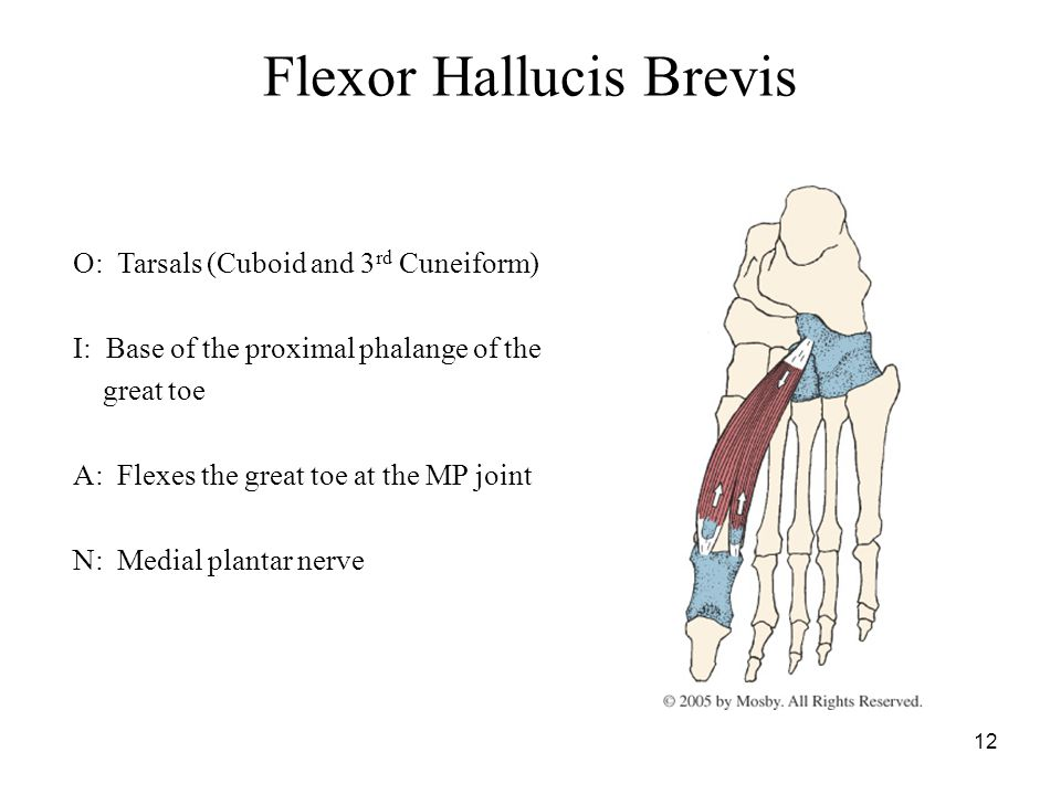 12 Flexor Hallucis Brevis O: Tarsals (Cuboid and 3 rd Cuneiform) I: Base of the proximal phalange of the great toe A: Flexes the great toe at the MP joint N: Medial plantar nerve
