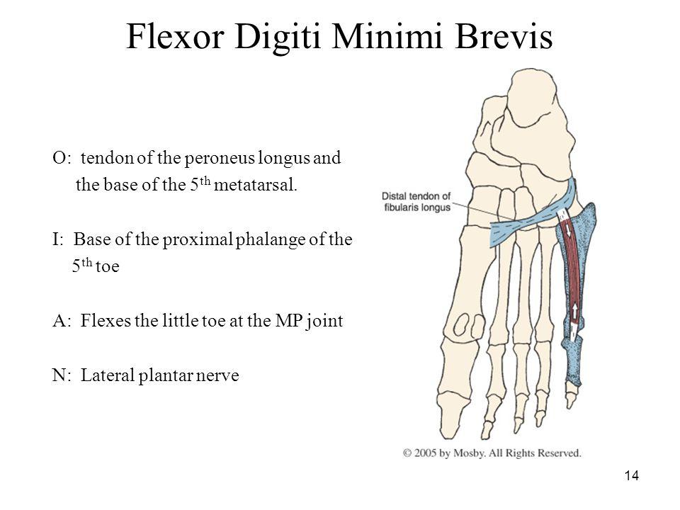 14 Flexor Digiti Minimi Brevis O: tendon of the peroneus longus and the base of the 5 th metatarsal.