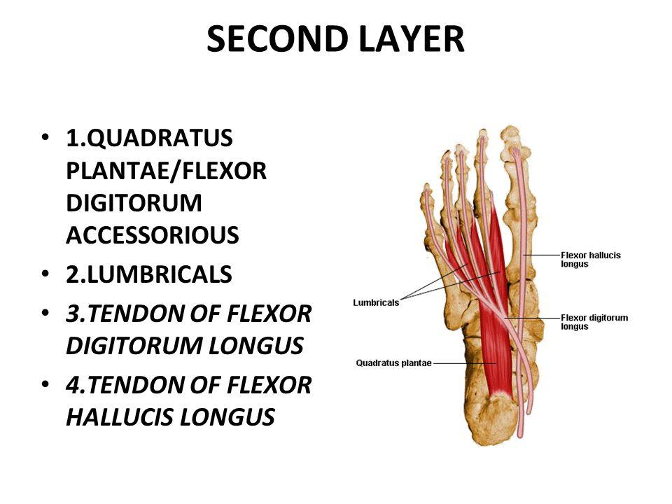SECOND LAYER 1.QUADRATUS PLANTAE/FLEXOR DIGITORUM ACCESSORIOUS 2.LUMBRICALS 3.TENDON OF FLEXOR DIGITORUM LONGUS 4.TENDON OF FLEXOR HALLUCIS LONGUS