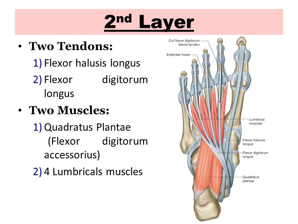 2 nd Layer Two Tendons: 1)Flexor halusis longus 2)Flexor digitorum longus Two Muscles: 1)Quadratus Plantae (Flexor digitorum accessorius) 2)4 Lumbricals muscles