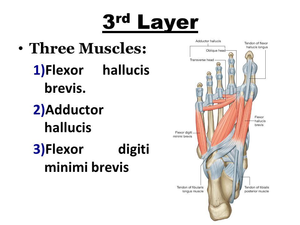 3 rd Layer Three Muscles: 1)Flexor hallucis brevis.