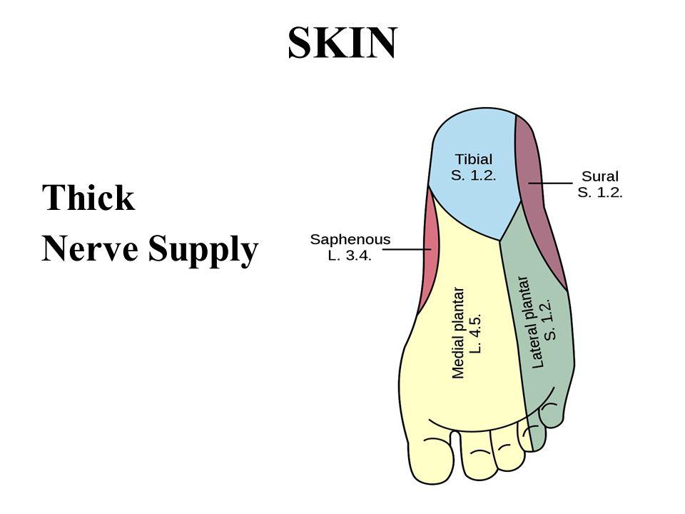 SKIN Thick Nerve Supply