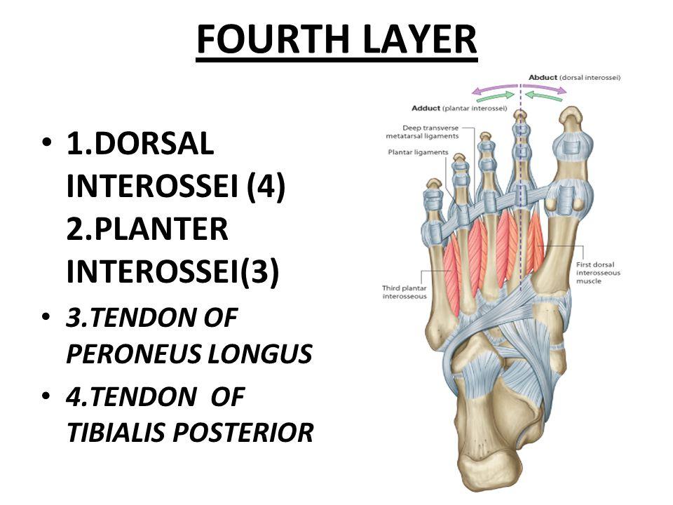 FOURTH LAYER 1.DORSAL INTEROSSEI (4) 2.PLANTER INTEROSSEI(3) 3.TENDON OF PERONEUS LONGUS 4.TENDON OF TIBIALIS POSTERIOR