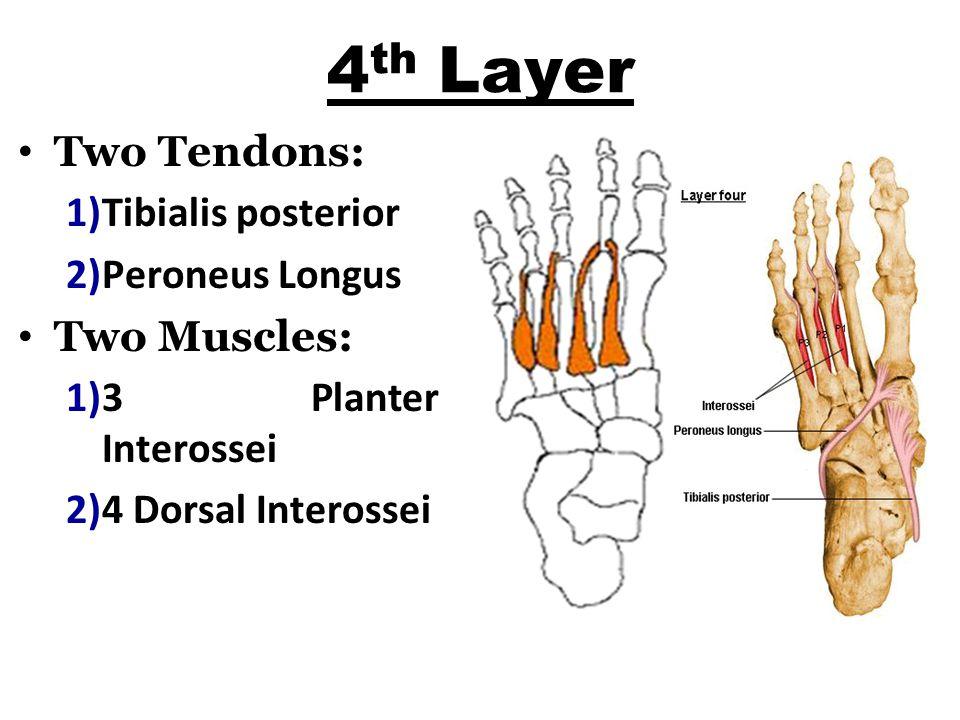 4 th Layer Two Tendons: 1)Tibialis posterior 2)Peroneus Longus Two Muscles: 1)3 Planter Interossei 2)4 Dorsal Interossei