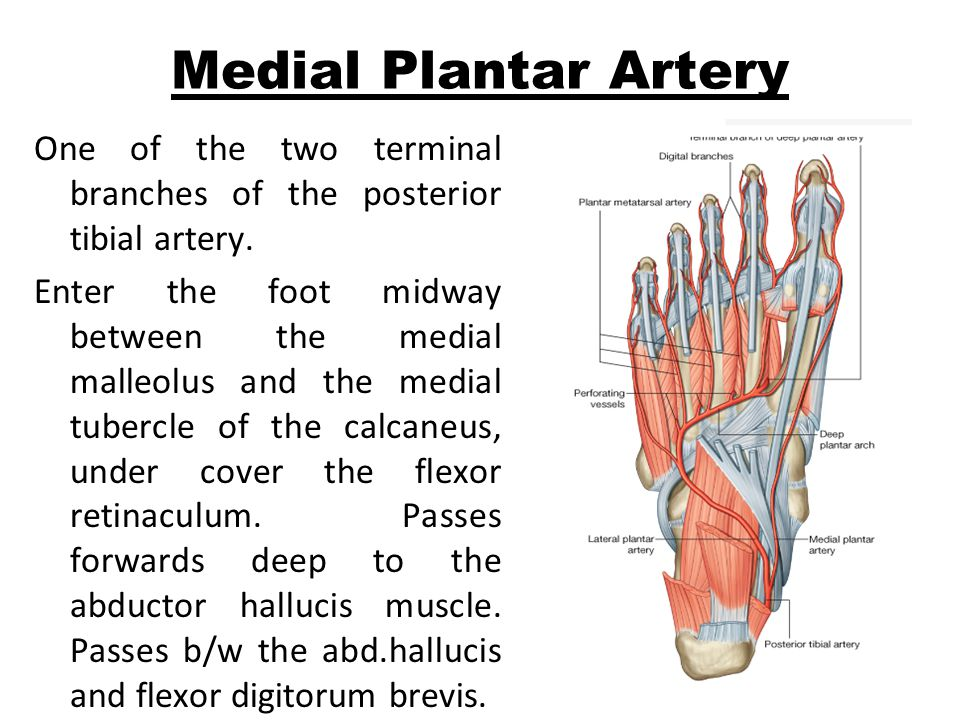 Medial Plantar Artery One of the two terminal branches of the posterior tibial artery.
