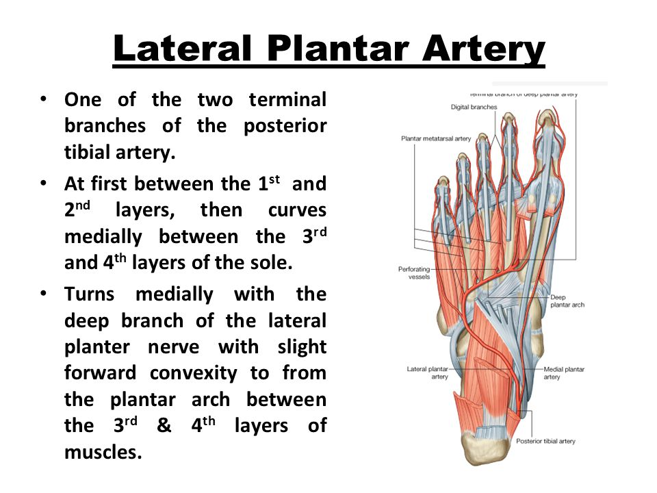 Lateral Plantar Artery One of the two terminal branches of the posterior tibial artery.