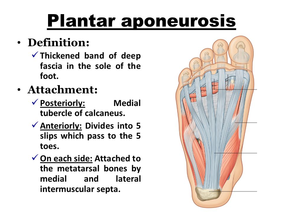Plantar aponeurosis Definition: Thickened band of deep fascia in the sole of the foot.