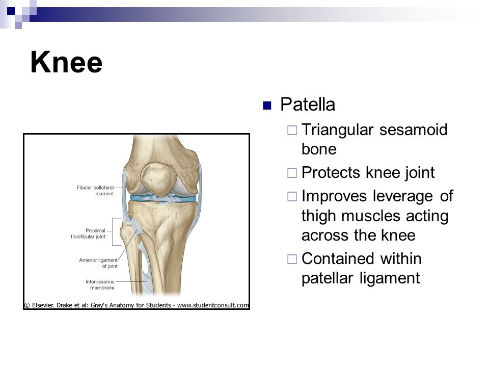Knee Patella  Triangular sesamoid bone  Protects knee joint  Improves leverage of thigh muscles acting across the knee  Contained within patellar