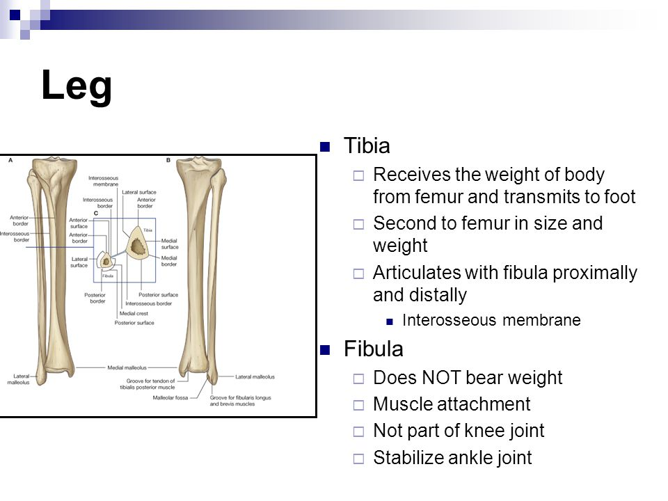 Leg Tibia  Receives the weight of body from femur and transmits to foot  Second to femur in size and weight  Articulates with fibula proximally and