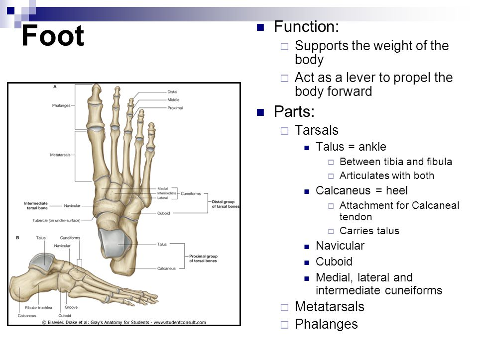 Foot Function:  Supports the weight of the body  Act as a lever to propel the body forward Parts:  Tarsals Talus = ankle  Between tibia and fibula