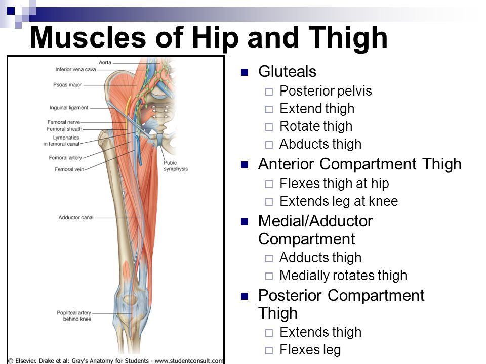 Muscles of Hip and Thigh Gluteals  Posterior pelvis  Extend thigh  Rotate thigh  Abducts thigh Anterior Compartment Thigh  Flexes thigh at hip 