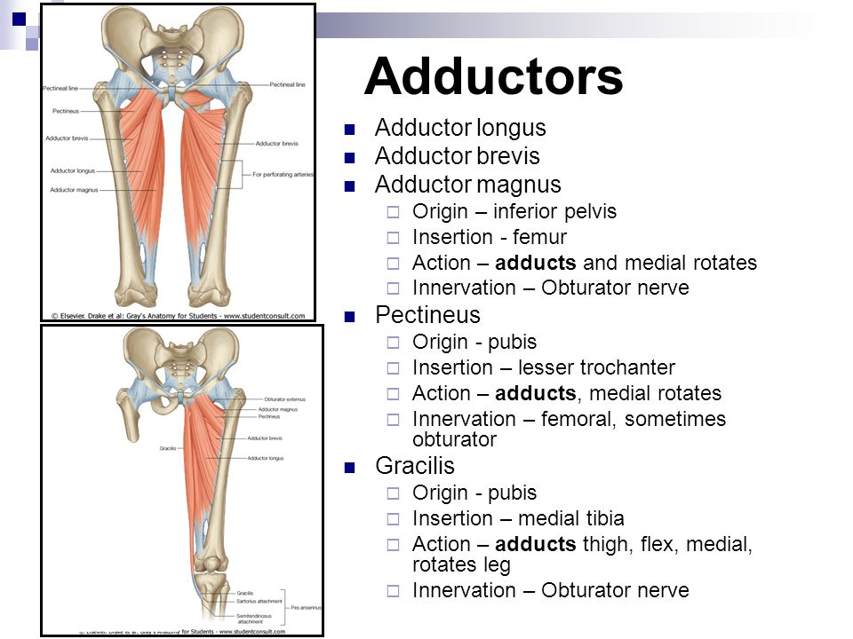 Adductors Adductor longus Adductor brevis Adductor magnus  Origin – inferior pelvis  Insertion - femur  Action – adducts and medial rotates  Inner