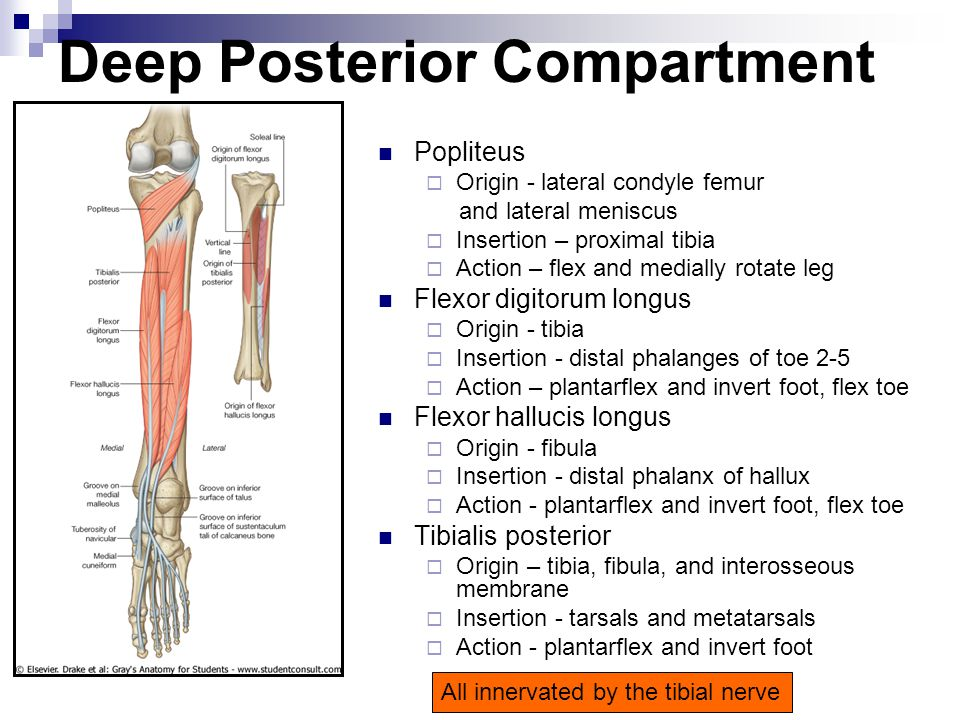 Deep Posterior Compartment Popliteus  Origin - lateral condyle femur and lateral meniscus  Insertion – proximal tibia  Action – flex and medially r