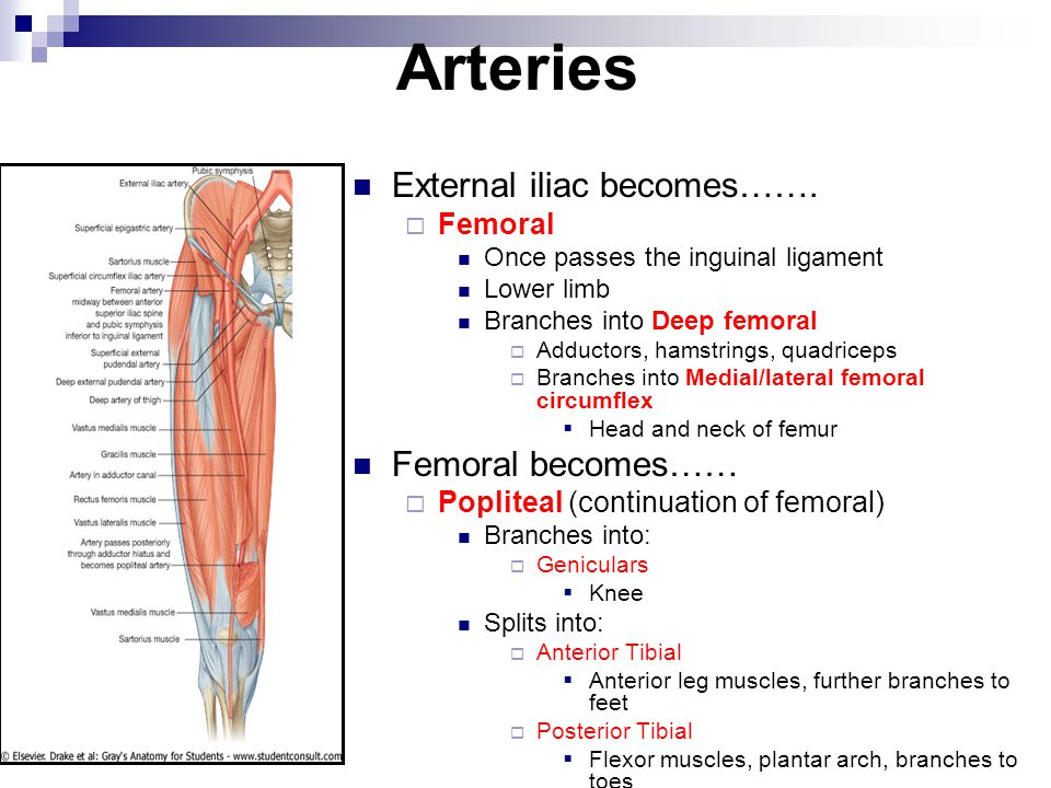 Arteries External iliac becomes…….  Femoral Once passes the inguinal ligament Lower limb Branches into Deep femoral  Adductors, hamstrings, quadrice