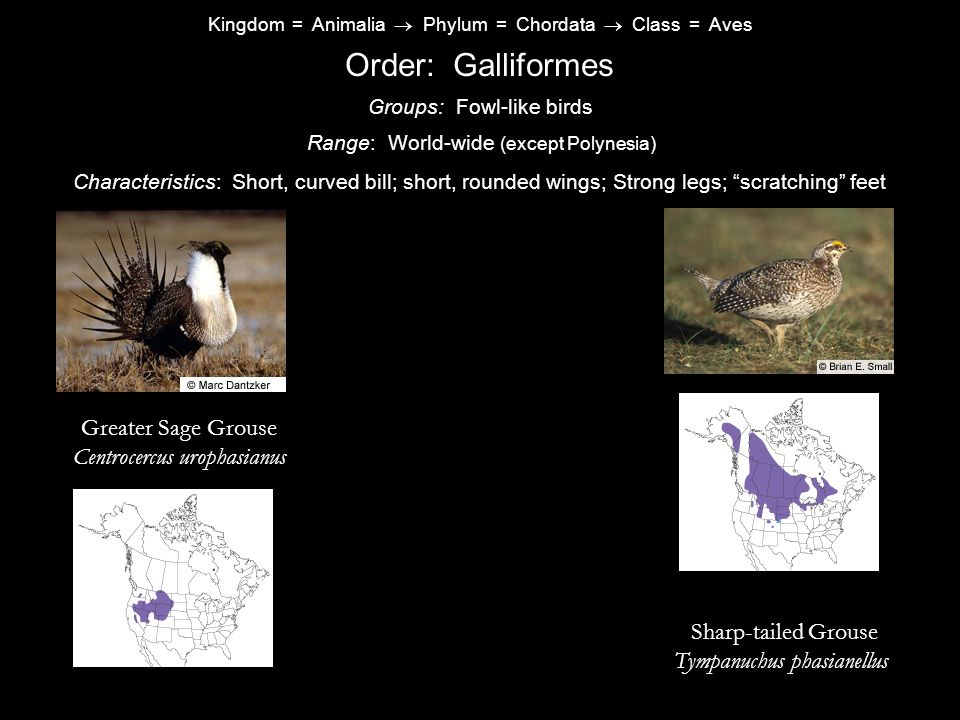 Kingdom = Animalia  Phylum = Chordata  Class = Aves Order: Galliformes Characteristics: Short, curved bill; short, rounded wings; Strong legs; scratching feet Range: World-wide (except Polynesia) Groups: Fowl-like birds Greater Sage Grouse Centrocercus urophasianus Sharp-tailed Grouse Tympanuchus phasianellus