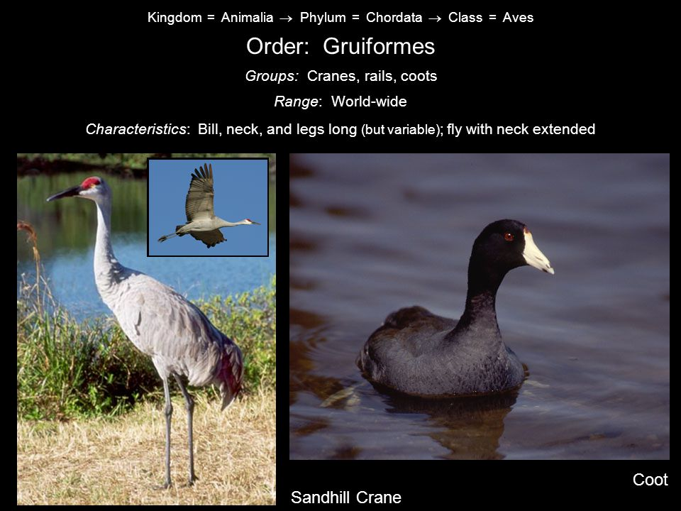 Kingdom = Animalia  Phylum = Chordata  Class = Aves Order: Gruiformes Characteristics: Bill, neck, and legs long (but variable) ; fly with neck extended Range: World-wide Groups: Cranes, rails, coots Sandhill Crane Coot