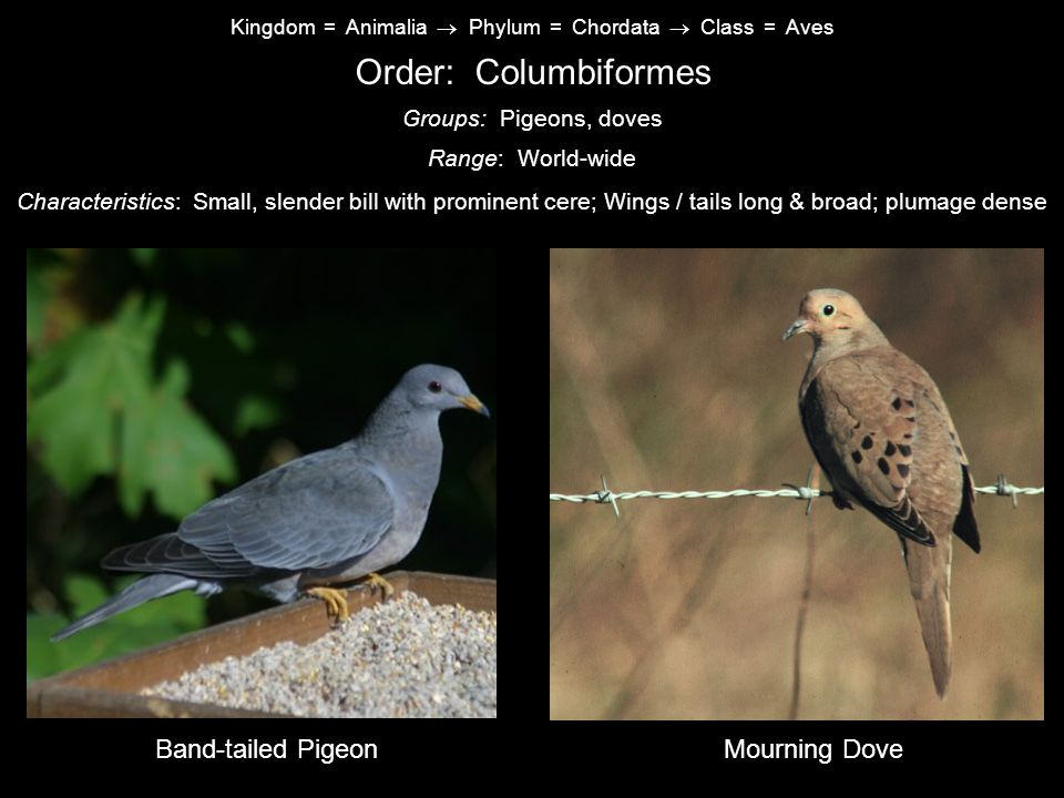 Kingdom = Animalia  Phylum = Chordata  Class = Aves Order: Columbiformes Characteristics: Small, slender bill with prominent cere; Wings / tails long & broad; plumage dense Range: World-wide Groups: Pigeons, doves Band-tailed PigeonMourning Dove