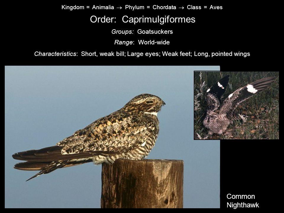 Kingdom = Animalia  Phylum = Chordata  Class = Aves Order: Caprimulgiformes Characteristics: Short, weak bill; Large eyes; Weak feet; Long, pointed wings Range: World-wide Groups: Goatsuckers Common Nighthawk Common Nighthawk